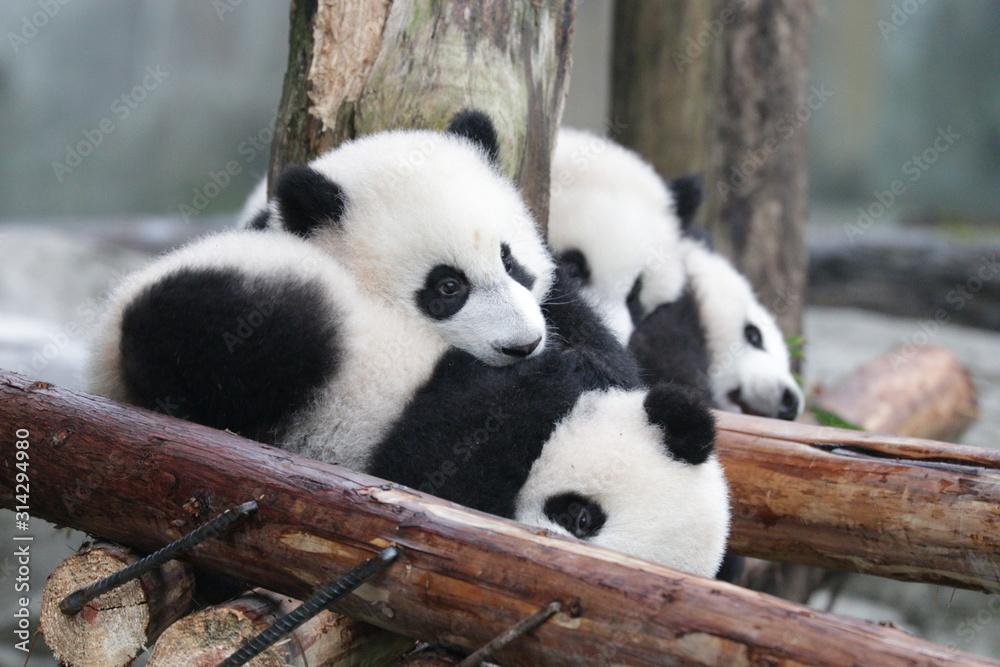 Fototapeta Little Baby Panda on the Playground, Chongqing, China