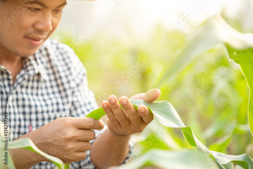 Photo Farmer working in the field of corn tree and research or checking problem about