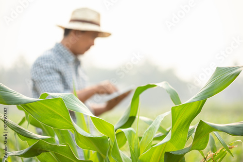 Farmer working in the field of corn tree and research or checking problem about Wallpaper Mural