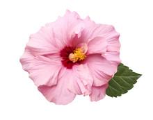 Tender Pink Hibiscus Flower Is...