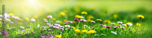 Fototapeta Meadow with lots of white and pink spring daisy flowers and yellow dandelions in sunny day obraz