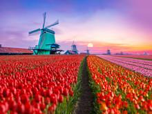 Colorful Tulips Farm And Windm...