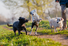 Person With Three Small Dogs On A Field Path
