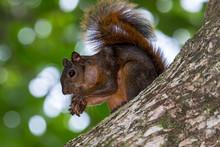 Red Squirrel (Sciurus Granaten...