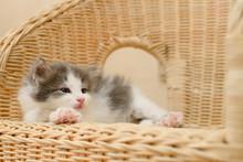 Little Cute Gray Kitten Lies O...