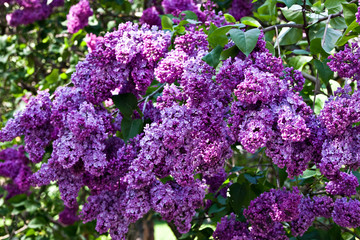 A branch of a flowering flowers lilac