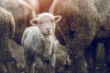 Little And Dirt Lamb Looking A...
