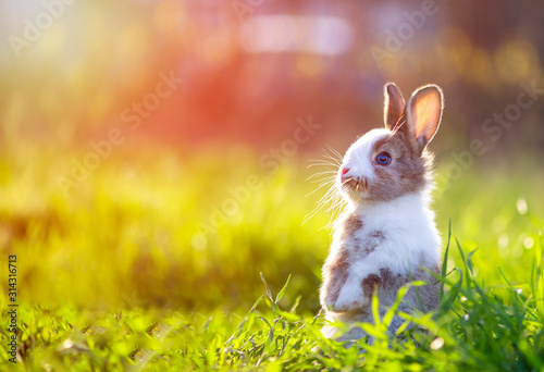 Obraz Cute little bunny in grass with ears up looking away - fototapety do salonu