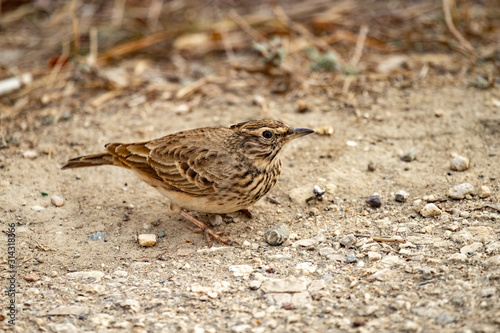 Valokuva The Calandra lark on the ground.Melanocorypha calandra