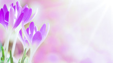 Spring Awakening - Blossoming Purple / Pink Crocuses Illuminated From The Morning Sun - Spring Background With Space For Text