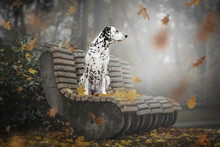 Dog Dalmatian Portrait And Aut...
