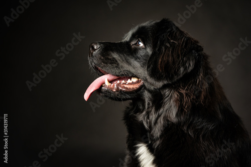 low key portrait of Newfoundland dog.  Black on black background, white blaze on chest, smiling with tongue hanging out. Obedient, smart dog in training for water rescue.