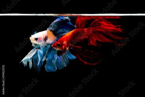 siamesebetta fish , blue and red betta on the black screen Canvas Print