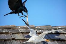 Tern Crow Fight