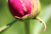 Pink Peon Bud And A Small Ant ...