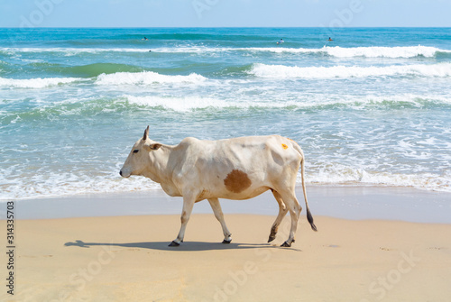 Fototapeta white cow on a beach, Mahabalipuram, Tamil Nadu, South India