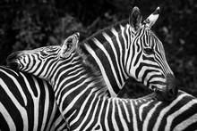 Two Crossed Zebras In Black An...