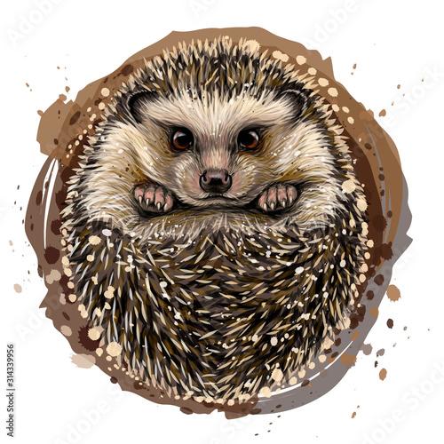 Obraz na plátně Hedgehog