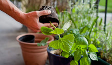 Gardener Activity On The Sunny...