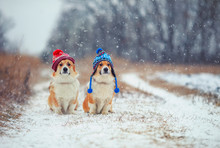 Two Cute Identical Brother Puppy Red Dog Corgi Sitting Next To Each Other In The Park For A Walk In Funny Warm Knitted Hats During Heavy Snowfall