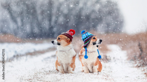 Obraz na plátne two cute identical brother puppy red dog Corgi they sit next to each other in th
