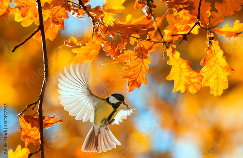 Fototapeta beautiful little bird tit flies in the autumn clear Park by the branch of an oak with Golden foliage on a Sunny day obraz