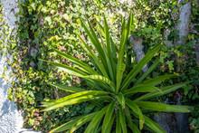 Yucca Flower In The Garden In ...