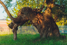 Centenarian Tree With Large Tr...
