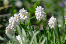 Muscari Aucheri White Flowering Flowers, Group Of Bulbous Plants In Bloom, Green Leaves