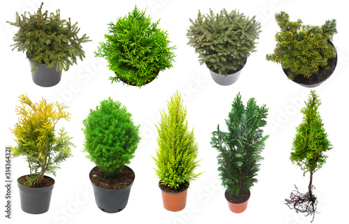 Photo Super collection conifers of junipers, thuja, pine, cypress, spruce, fir isolated on white background