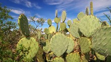 Prickly Pear Cactus In Saguaro...