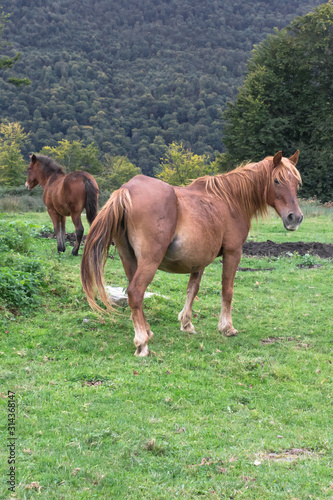 Bay horse in the meadow Canvas Print