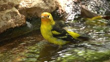 Male Western Tanager Takes A B...