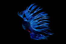 Crowntail Betta , Blue And Red Color On Black Screen
