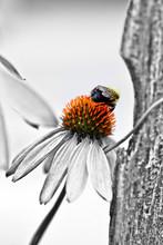 Bumble Bee On Vibrant Orange Echinacea Center