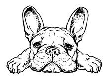 Cute French Bulldog Sketch. Dr...