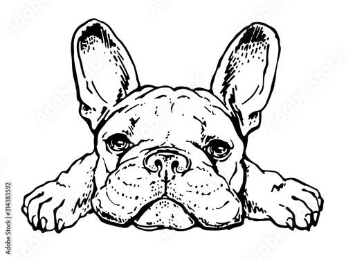 Obraz Cute french bulldog sketch. Drawn puppy - fototapety do salonu