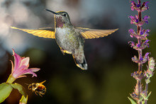 Hummingbird And Bumblebee Hove...
