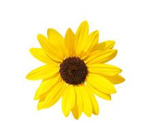 Single Sunflowers Head  Isolated On White Background