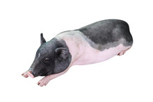 Sleeping Miniature Pig Isolate...