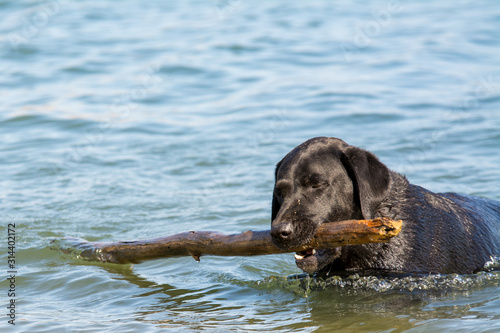 black Labrador retriever dog fetching stick in water Fototapet