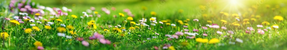 Fototapeta Meadow with lots of white and pink spring daisy flowers and yellow dandelions in sunny day