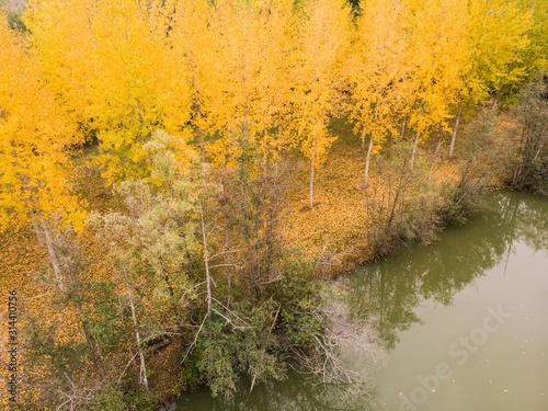 une forêt de bouleaux en automne avec les feuilles jaunes et une rivière Wallpaper Mural