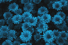 Blue Chrysanthemum Flowers Bac...