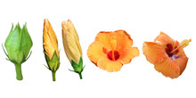Hibiscus Flowers Growth Process Isolated On White Backgro Clipping Pathund Clipping Path