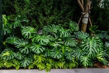 Montera Jungle Plant In Rain Forest