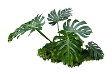 Monstera Jungle Leave Plant Isolated Include Clipping Path On White Background