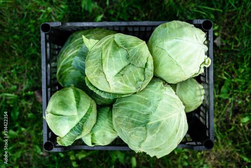 Fotografie, Tablou Harvesting cabbage. Fresh cabbage in black box.