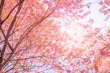 Wild Himalayan Cherry (Prunus Cerasoides), Pink Sakura Flowers In Thailand.