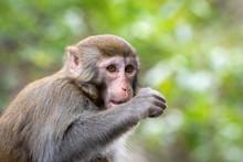 Portrait Of A Rhesus Macaque M...